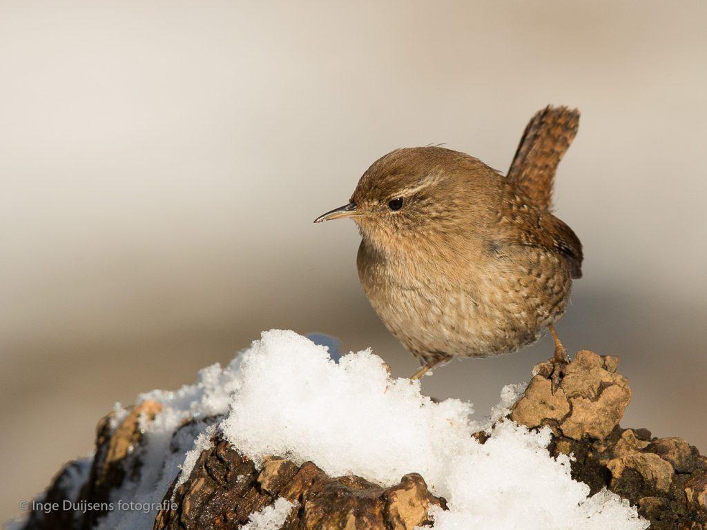 Winterkoning in de sneeuw