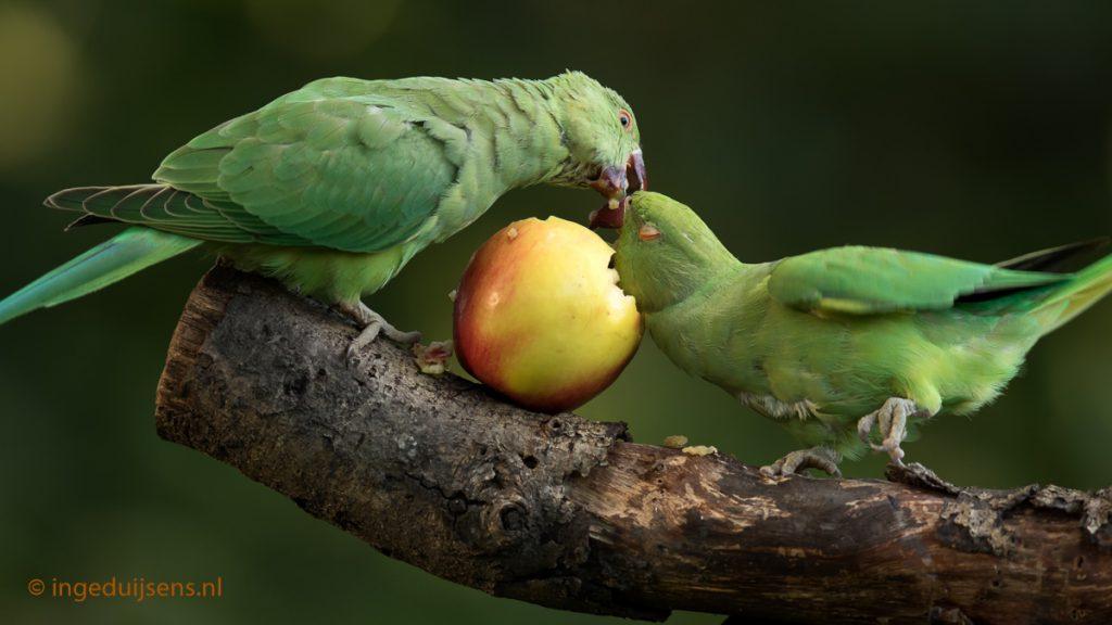 Halsbandparkieten ruziëen om appel