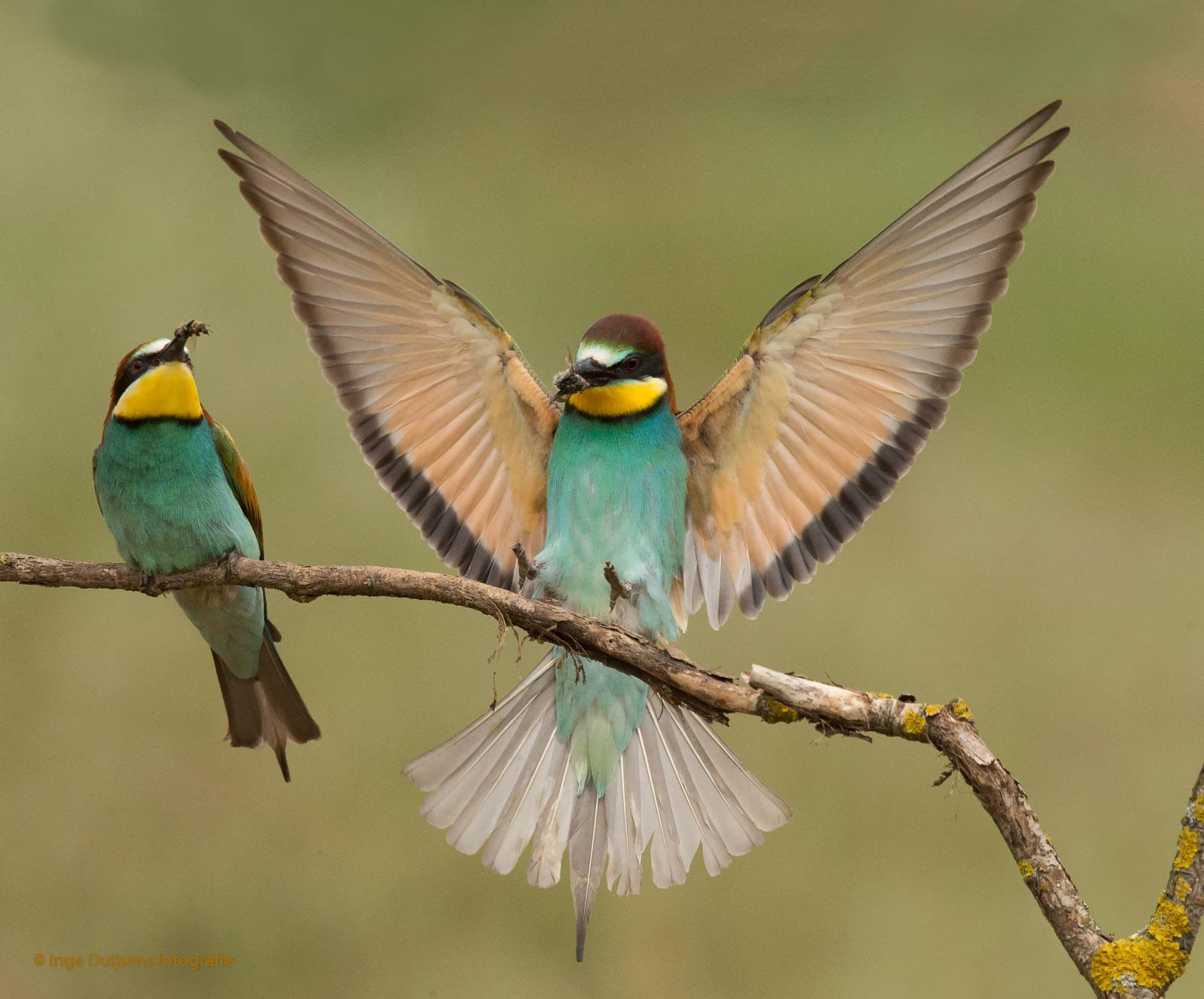 Beide vogels hebben een Bij gevangen.