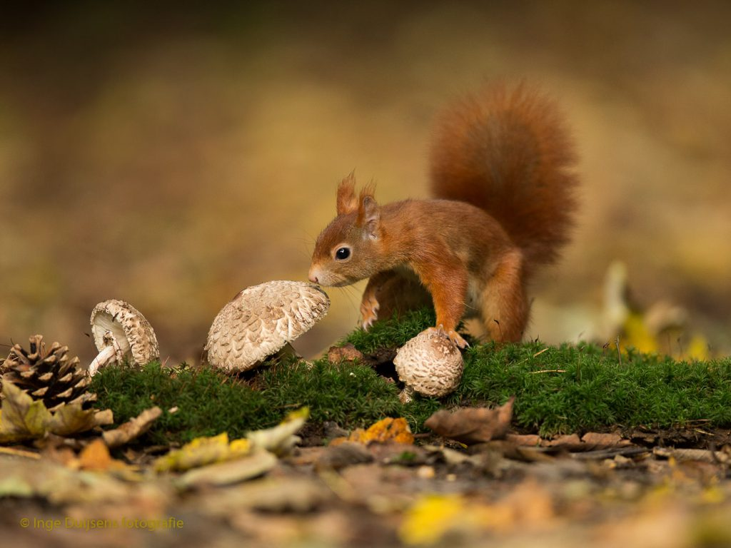 Eekhoorn en paddestoelen