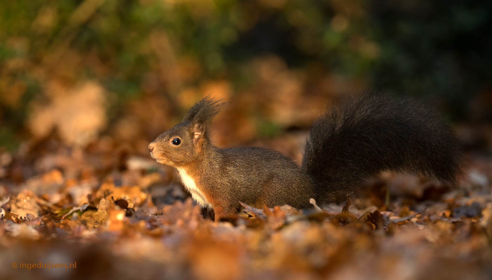 Herfstsfeer Eekhoorn