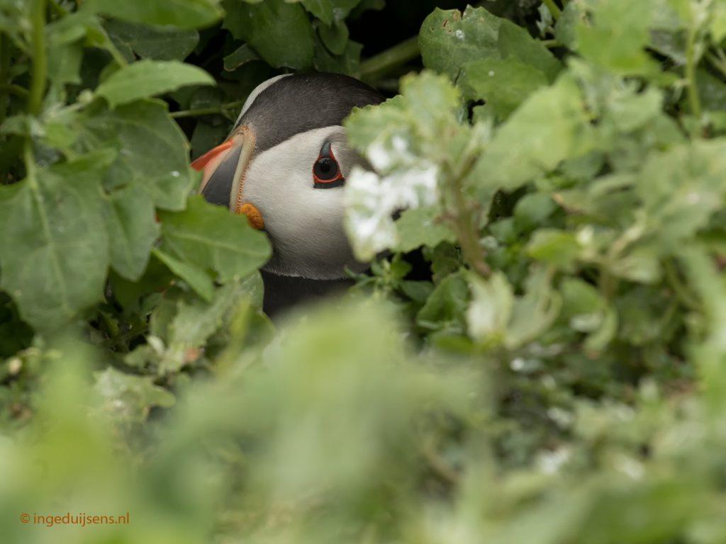 Papegaaiduiker in hol