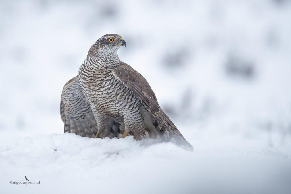 Havik vrouwtje in de sneeuw
