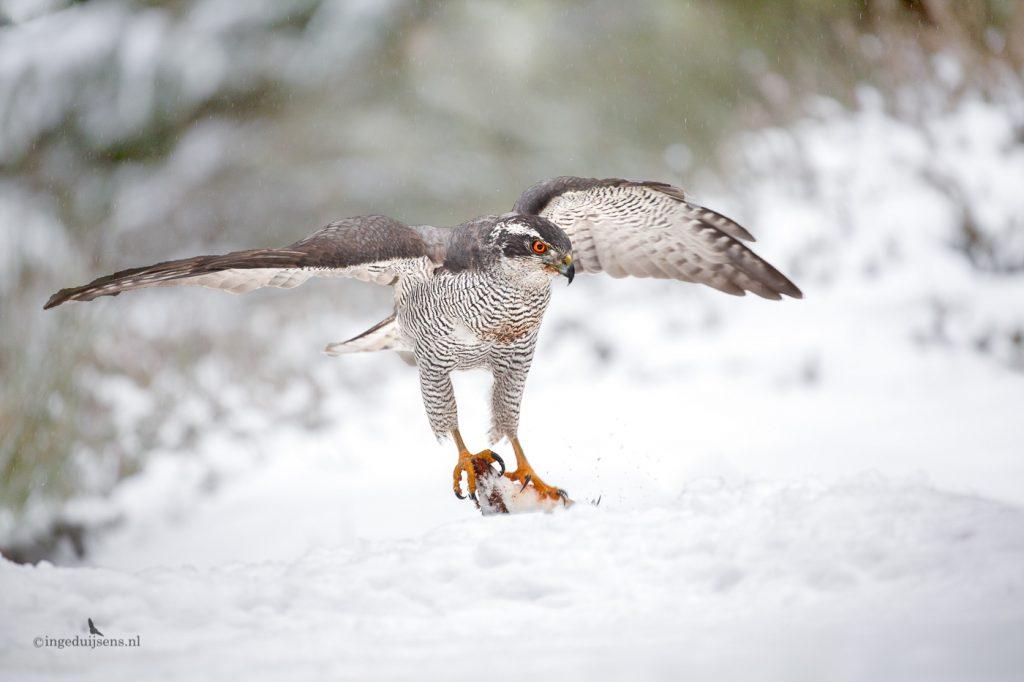 Havik mannetje in de sneeuw