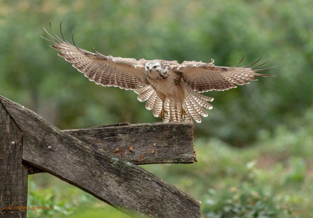 landing buizerd