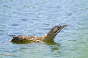 zwemmende jonge roerdomp